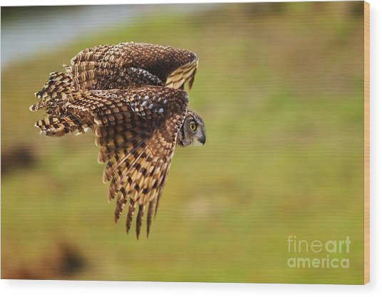 Spotted Eagle Owl In Flight Wood Print