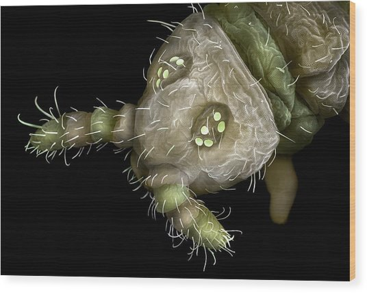 Springtail Head Wood Print by Alex Hyde