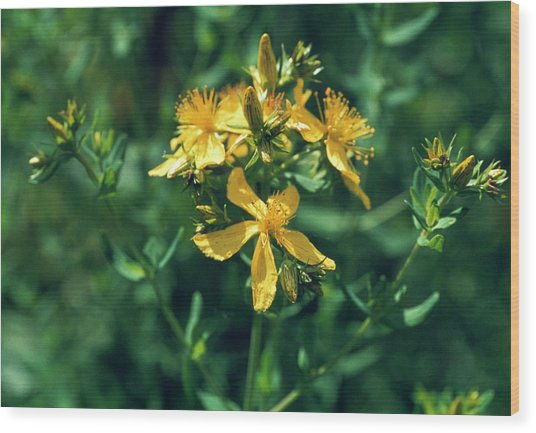St John's Wort Flowers Wood Print by Th Foto-werbung/science Photo Library