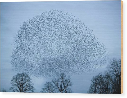 Starlings Flying To Roost Wood Print
