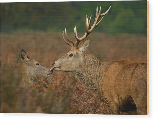 Stolen Kiss Wood Print by Val Saxby