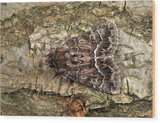 Straw Underwing Moth Wood Print by Nigel Downer