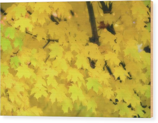 Sugar Maple (acer Saccharum) Wood Print by Maria Mosolova/science Photo Library