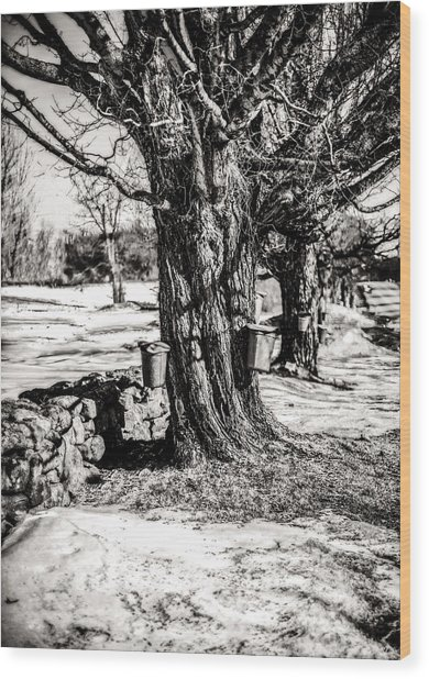 Sugaring Season Wood Print