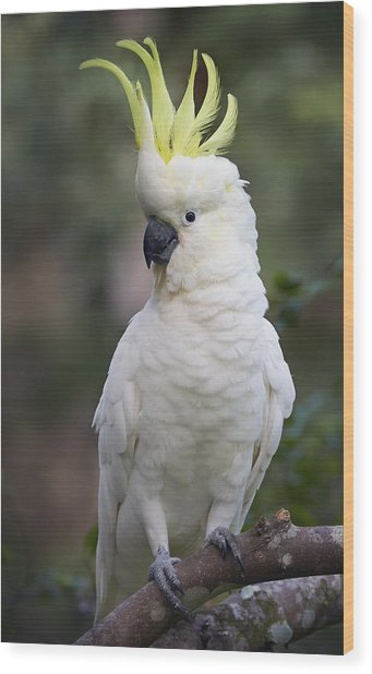 Sulphur-crested Cockatoo Displaying Wood Print
