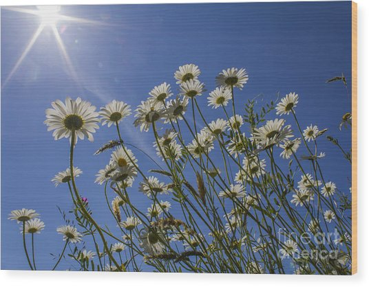 Sun Lit Daisies Wood Print