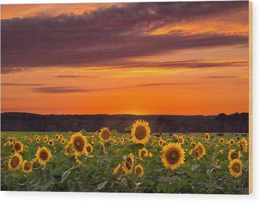 Sunset Over Sunflowers Wood Print
