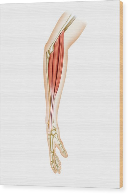 Superficial Muscles Of Forearm Wood Print by Asklepios Medical Atlas