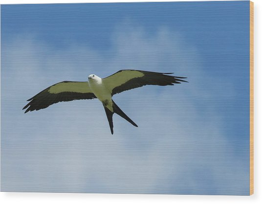 Swallow-tailed Kite In Flight Wood Print
