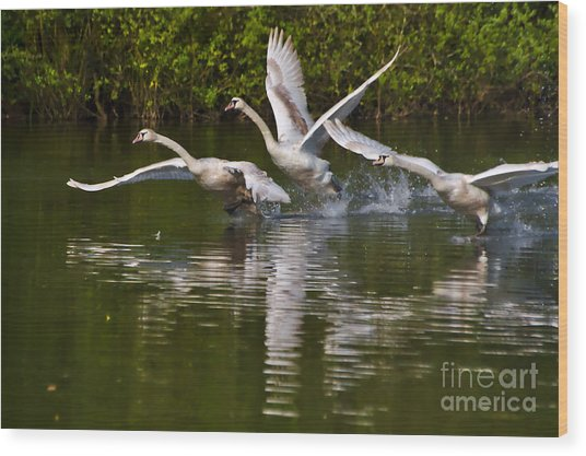 Wood Print featuring the photograph Swan Take-off by Jeremy Hayden