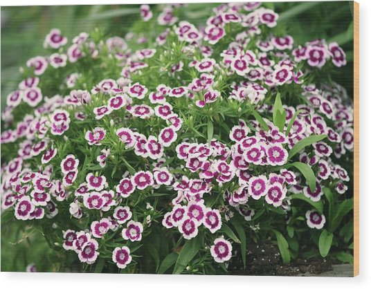 Sweet William (dianthus Barbatus) Flowers Wood Print