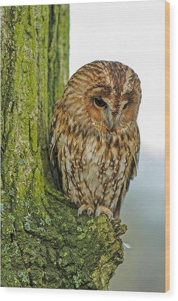 Tawny Owl Wood Print by George Cox
