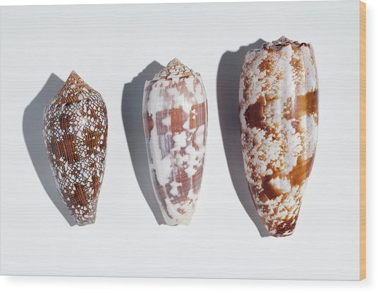Three Conus Cone Shells That Can Kill Man Wood Print by Paul D Stewart