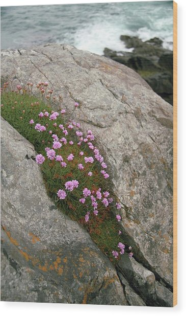 Thrift (armeria Maritima Miller) Wood Print by Chris Dawe/science Photo Library