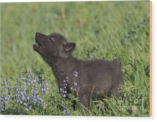 Timber Wolf Cub, Canis Lupus Wood Print