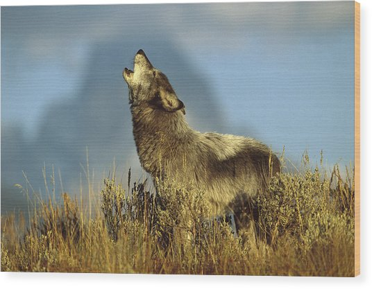 Timber Wolf Howling Idaho Wood Print