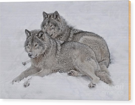 Timber Wolf Pair Wood Print