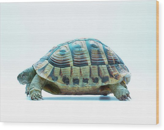 Tortoise Wood Print by Gustoimages/science Photo Library