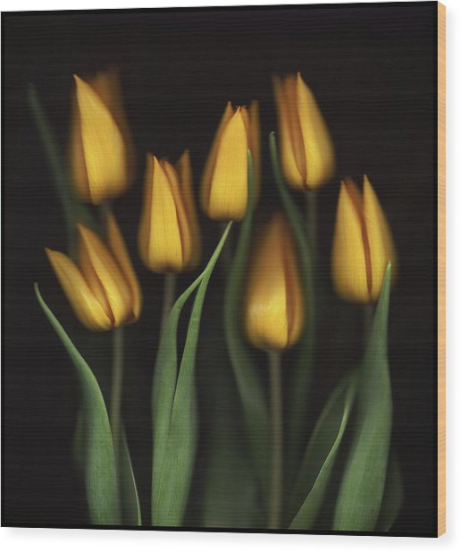 Tulips Wood Print by Brian Haslam