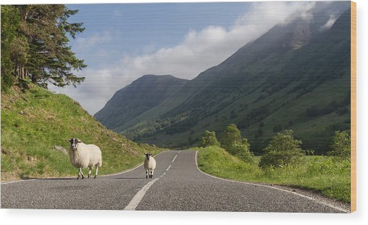 Two Sheeps Walking Along A Road In The Scottish Highlands Wood Print by Leander Nardin