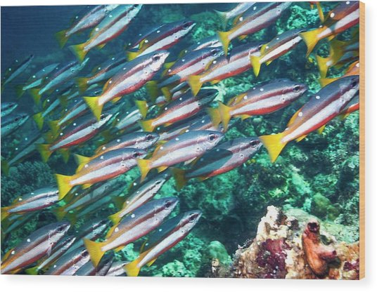 Two-spot Banded Snappers Wood Print by Georgette Douwma