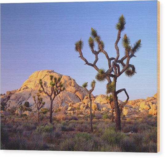 Usa, California, Joshua Tree National Wood Print by Jaynes Gallery