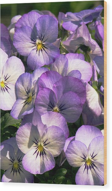Viola Cornuta Penny Purple Picotee Wood Print by Adrian Thomas