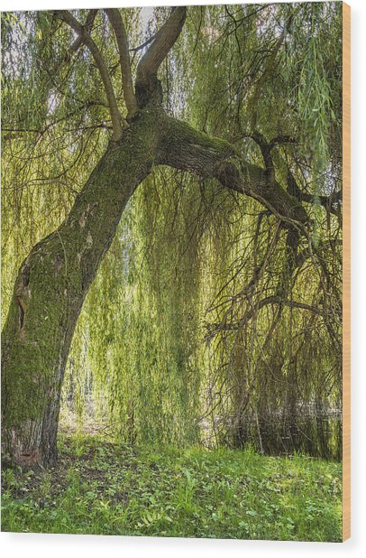 Weeping Willow Wood Print by Thomas Schreiter