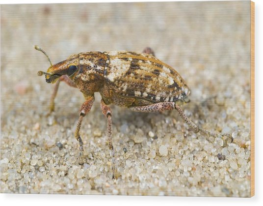 Weevil On Sand Wood Print by Science Photo Library