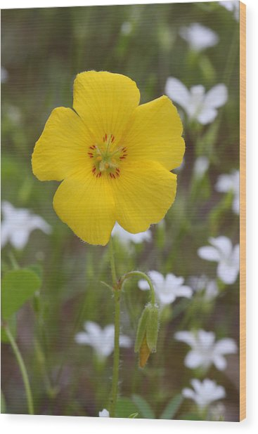 Wood Print featuring the photograph Wood Sorrel And Sandwort by Daniel Reed