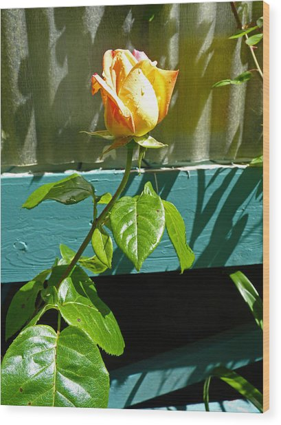 Yellow Rose  Wood Print by Gracia  Molloy