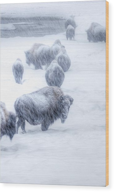 Yellowstone Bison Wood Print by David Yack