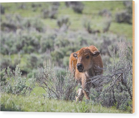 Bison Calf Wood Print