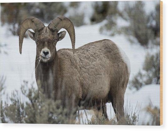 Yellowstone Ram Wood Print