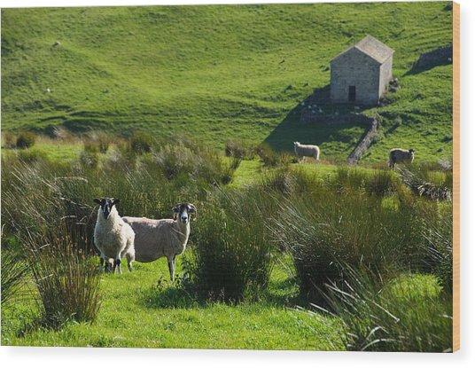 Yorkshire Sheep Wood Print