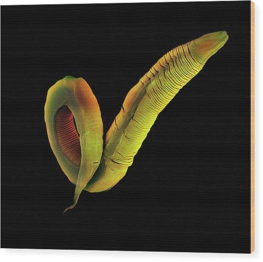 C. Elegans Worm Wood Print by Steve Gschmeissner