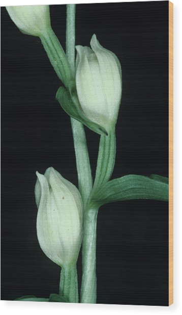Orchid Flowers Wood Print by Paul Harcourt Davies/science Photo Library