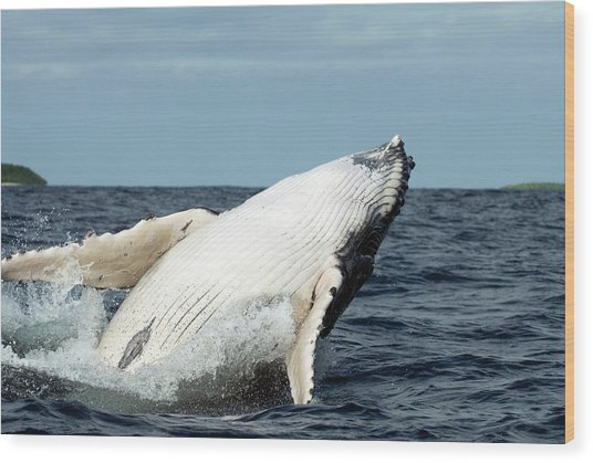 Humpback Whale Wood Print by Christopher Swann/science Photo Library