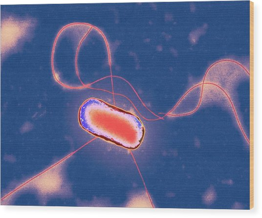 E. Coli Bacterium Wood Print by Centre For Infections/public Health England/science Photo Library
