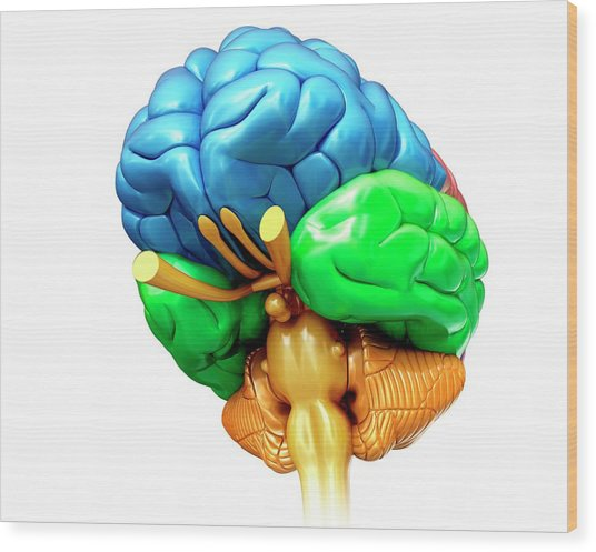 Human Brain Regions Wood Print by Pixologicstudio/science Photo Library