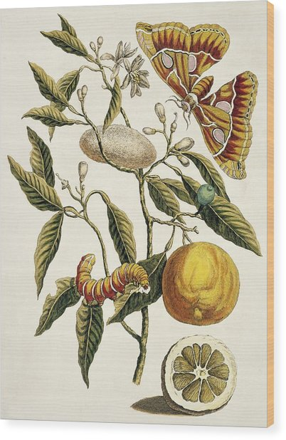 Insects Of Surinam Wood Print by Natural History Museum, London/science Photo Library