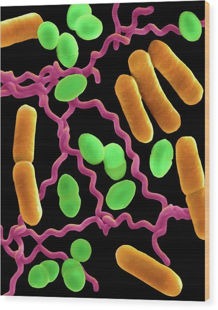 Three Common Types Of Bacterial Morphology Wood Print by Dennis Kunkel Microscopy/science Photo Library