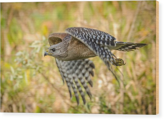 Red Shouldered Hawk Wood Print