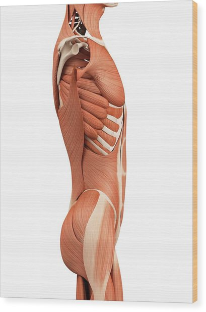 Human Abdominal Muscles Wood Print by Sebastian Kaulitzki