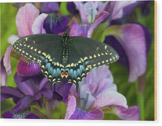 Black Swallowtail Butterfly, Papilio Wood Print by Darrell Gulin