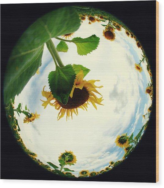 Sunflowers Wood Print by Falko Follert