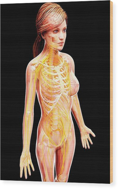 Female Nervous System Wood Print by Pixologicstudio/science Photo Library