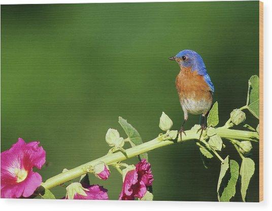 Eastern Bluebird (sialia Sialis Wood Print by Richard and Susan Day