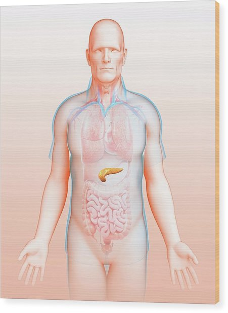 Male Pancreas Wood Print by Pixologicstudio/science Photo Library