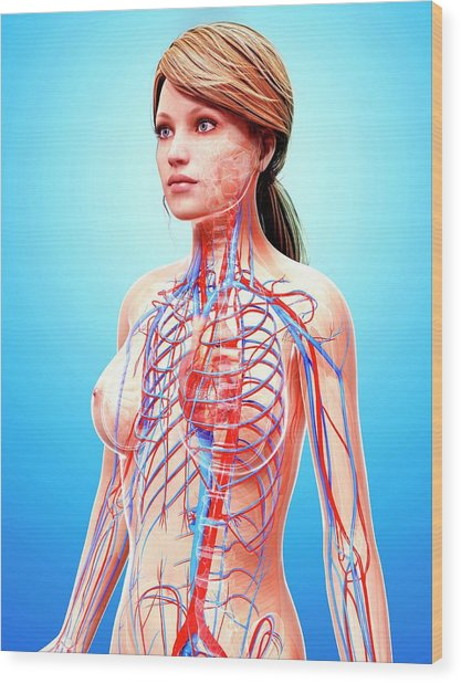 Female Cardiovascular System Wood Print by Pixologicstudio/science Photo Library
